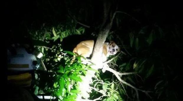 A dog stuck in a tree (Queensland Fire and Emergency Services)