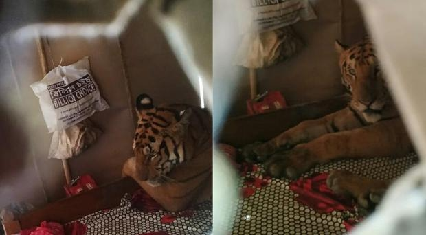 A tiger takes a nap in a house in Assam, India (Dr Samshul Ali/IFAW-WTI)