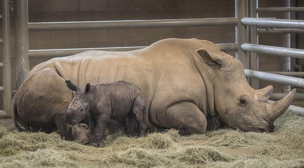 Southern white rhinos are near threatened in the wild (San Diego Zoo)