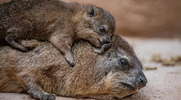 One of the Hyrax pups with its mother (Chester Zoo)