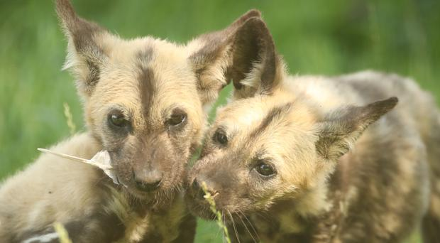 Lehana and Lembani, two Painted Dog puppies at Yorkshire Wildlife Park near Doncaster (Danny Lawson/PA)