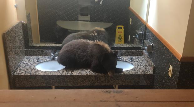 A bear curled up in a restaurant restroom (Ashley Franz and David O'Connor for Bucks T4 Lodge)