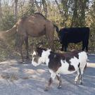 A camel, donkey and a cow found roaming together along a road (Devon Keith/Goddard Police Department via AP)