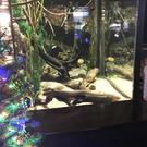 Miguel Wattson the eel lights Christmas lights at Tennessee Aquarium (Tennessee Aquarium)
