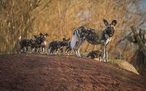 Painted dog pups and their mother