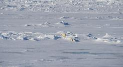 Polar bears walking on the ice (vladsilver/Getty)