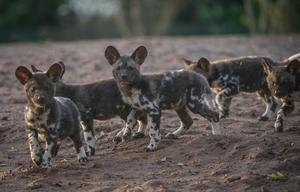 Painted dogs with their ears up