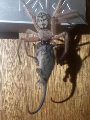 The Hunstman spider was eating the small possum. (Justine Latton)