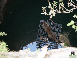 The leopard rests on a platform before being rescued (Credit: Wildlife SOS/PA)