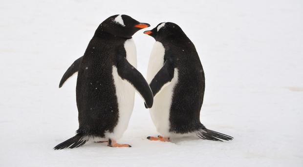 Two gentoo penguins, similar to Sphen and Magic (jtstewartphoto/Getty)