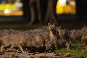 The animals arrive just before nightfall (Oded Balilty/AP)