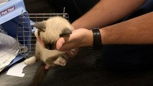 The six-week-old kitten being nursed back to health (Cobb County Fire and Emergency Services via AP)