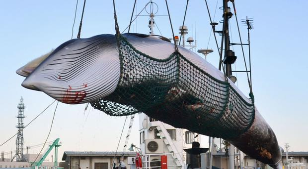 A minke whale is unloaded at a port in Kushiro, in the northernmost main island of Hokkaido (Kyodo News via AP)