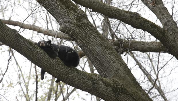 A bear rests in a tree in a suburban area of Paramus, New Jersey (Seth Weni/AP)