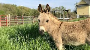Mambo, an eight-year-old miniature donkey, who along with others is making surprise appearances in virtual meetings (Peace N Peas Farm via AP)