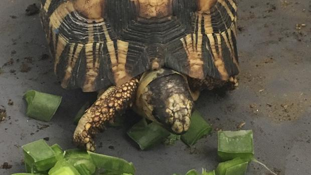 A critically endangered radiated tortoise recovers from capture by wildlife traffickers in Madagascar (Susie Bartlett / The Wildlife Conservation Society/AP)