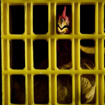 A chicken at a slaughterhouse in Pudong, Shanghai, after live poultry trading was banned following the H7N9 bird flu outbreak (AP)