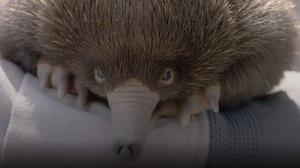 Baby echidna at San Diego Zoo (Zoological Society of San Diego)