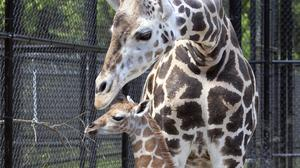 Hope, a giraffe calf, and her mother Sue Ellen in New Orleans (Jonathan Vogel/Audubon Nature Institute/AP)