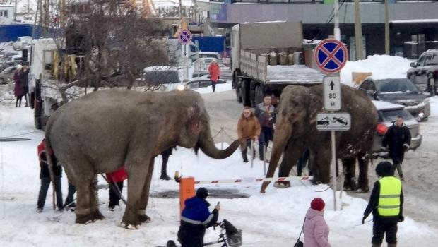 Elephants in the streets of Yekaterinburg (Anna Dubrovskaya via AP)