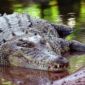 A crocodile apparently pulled 51-year-old Zam Ledoh under as he searched for crabs in an Indonesian river