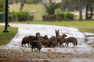 Jackals eat dog food that was left for them by a woman at Hayarkon Park (Oded Balilty/AP)