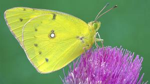 A clouded sulphur butterfly in Cromwell, Connecticut, in the US (Mike Thomas/AP)