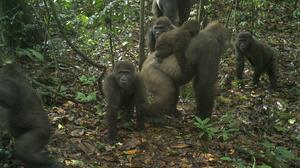 A group of Cross River gorillas in the Mbe Mountains of Nigeria (WCS Nigeria/AP)