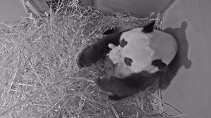 Giant panda Wu Wen holds her newly born cub at Ouwehands Zoo in Rhenen, Netherlands (Ouwehands Zoo/via AP)
