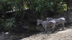 Two zebras which escaped from a flooded zoo stand on a hill inside the zoo in Tbilisi (AP)