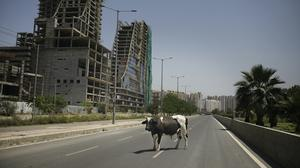 A bull stands in the middle of a deserted road during lockdown to control the spread of the new coronavirus, on the outskirts of New Delhi, India (Altaf Qadri/AP)
