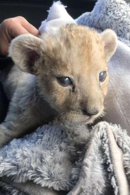 The baby lioness was found in a garage (Douane Francaise via AP)