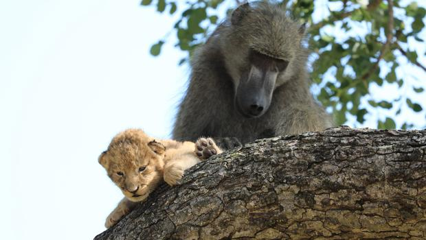 A male baboon preens a lion cub in a tree in the Kruger National Park, South Africa (Kurt Schultz via AP)