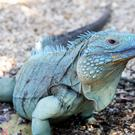 A blue iguana (Chris Jackson/PA)