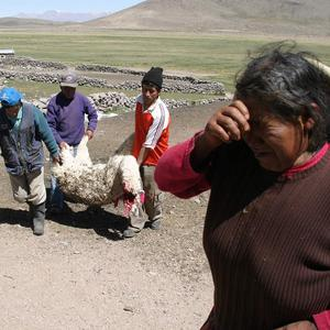 A woman cries for her alpaca which died due to ash from the Ubinas volcano in Peru (AP Photo)