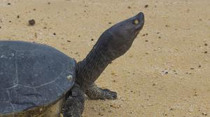 A Cambodian Royal Turtle walks on the sand of Sre Ambel river bank, in western Phnom Penh, Cambodia (Wildlife Conservation Society via AP)