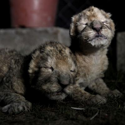 African lion cubs, Fajr, right, and his sister, Sejil, left, rest after feeding at Besan Zoo in the Gaza Strip (AP)