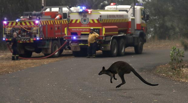 A wallaby hops across a road to flee a fire near Mangrove Mountain, north of Sydney (Rick Rycroft/AP)