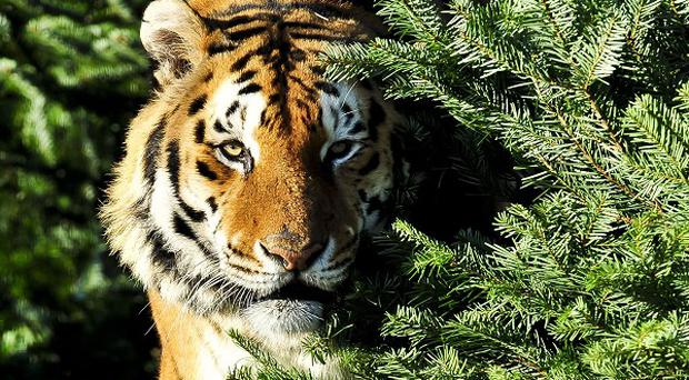 A tiger attacked its trainer during an evening performance of the Hermanos Suarez circus