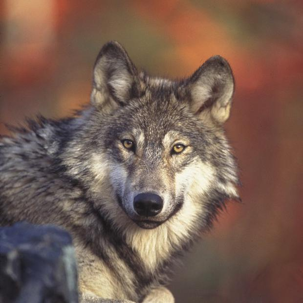 Swedish activists are challenging a contgroversial wolf cull (AP)