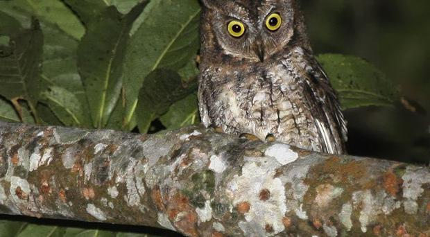 Scientists have identified a whistling owl only found on the Indonesian island of Lombok as a new species (Philippe Verbelen/PA)
