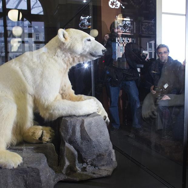 Knut is on display at the Natural History Museum in Berlin (AP)