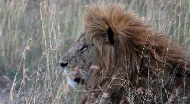 Lions mauled to death two people in Zimbabwe, wildlife rangers said