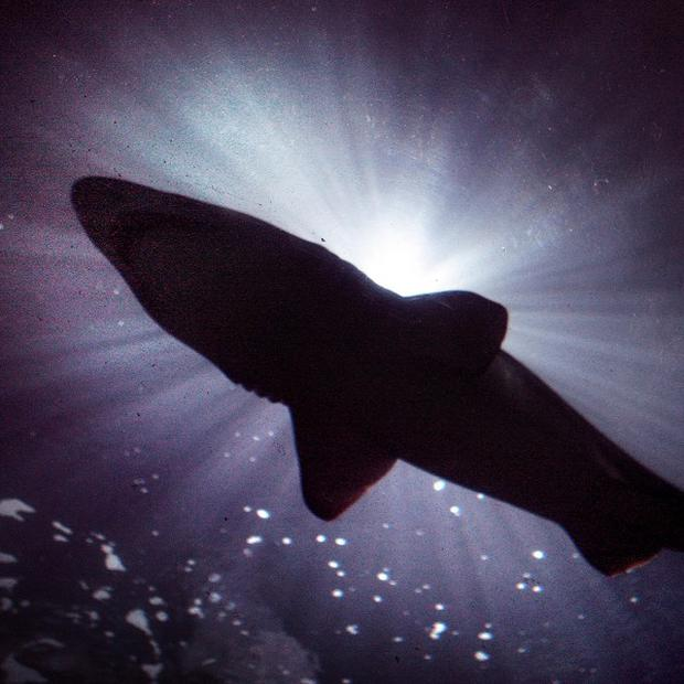 Conservationists voted to strengthen protections for five species of threatened sharks