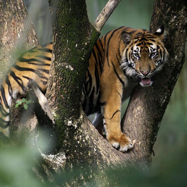A rare Sumatran tiger has mauled a farmer to death on Indonesia's Sumatra island (AP)