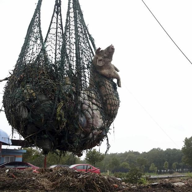 A worker hauls away dead pigs with a net in the Jinshan district of Shanghai (AP)