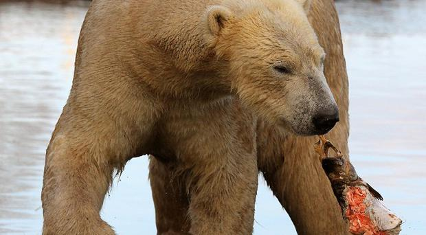 More polar bears in Canada are being affected by the warming climate, say researchers