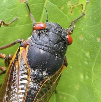 A chorus of buzzing male cicadas can rival a jet engine.(AP//University of Connecticut, Chirs Simon)