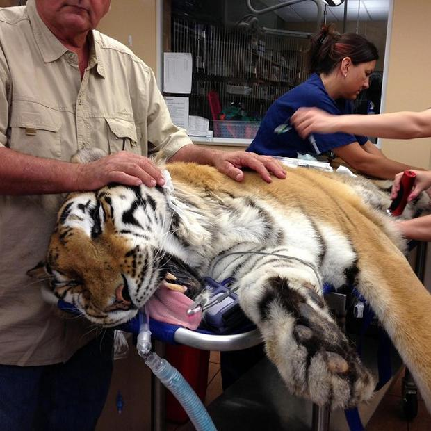 vets had to surgically extract a four-pound hairball from tiger Ty (AP/Courtesy BluePearl Veterinary Partners, James Judge)