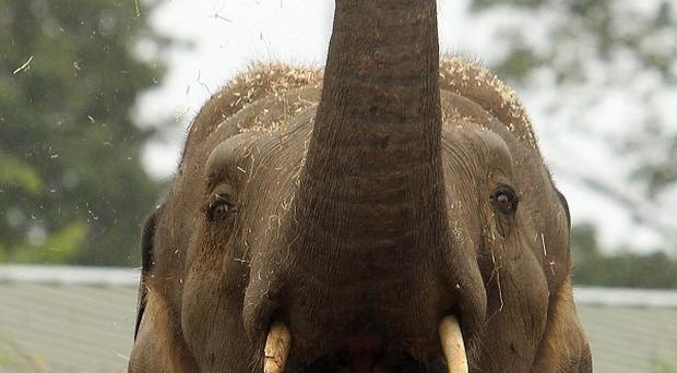 An elephant's tusks have been cut back after the creature trampled a woman in Thailand
